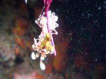 吃在王侯Ampat印度尼西亚的丑角虾海星 股票视频