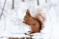 吃在白色雪的逗人喜爱的蓬松灰鼠坚果在冬天森林里 免版税库存照片