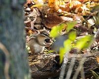 吃在秋天的花栗鼠一枚坚果 库存照片