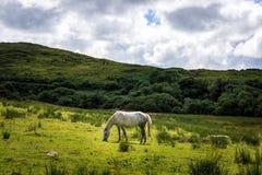 吃在空的草甸、草原有小山的和松的云彩的白马草 库存照片