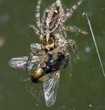 吃在窗口的大蜘蛛一次大飞行。 免版税库存图片