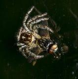 吃在窗口的大蜘蛛一次大飞行。 库存照片