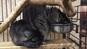吃在笼子的逗人喜爱的黄鼠 股票录像
