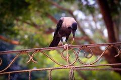吃在篱芭的乌鸦内脏 库存照片