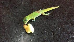 吃在考艾岛海岛,夏威夷上的壁虎蜥蜴香蕉 影视素材