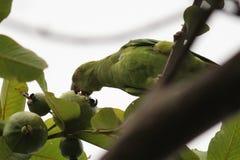吃在自然世界的新鲜的活果子parrats 库存图片