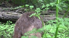 吃在自然环境里的海狸 股票录像