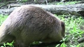吃在自然环境里的海狸 股票视频
