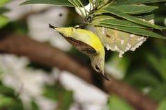 吃在自然的果子鸟 图库摄影