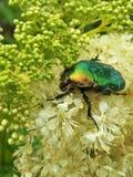 吃在花的甲虫 图库摄影