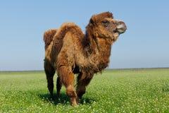 吃在草甸的一头大骆驼的画象草 Reservatio 库存照片