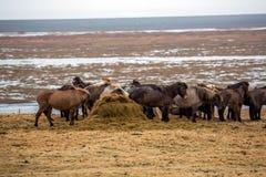 吃在草甸的冰岛马牧群  免版税库存照片