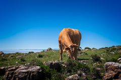 吃在草甸的母牛草山的 免版税库存图片