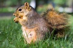 吃在草甸的灰鼠一枚坚果 免版税库存图片