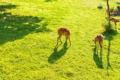 吃在草甸的狍新鲜的草,顶视图 野生生物、动物、动物园和哺乳动物概念 库存照片