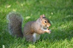 吃在草的逗人喜爱的灰鼠一枚坚果 库存图片