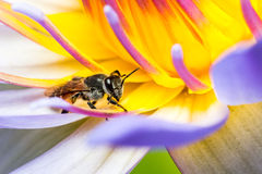 吃在莲花的蜂糖浆 免版税图库摄影