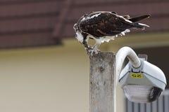 吃在路灯柱的西部白鹭的羽毛Pandion haliaetus一条鱼 图库摄影