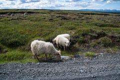 吃在路边缘的绵羊  库存照片