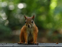 吃在长凳的灰鼠坚果 免版税库存照片