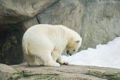 吃在雪的玩具熊一条鱼 库存照片
