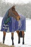 吃在雪的良种马干草 库存图片
