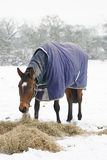 吃在雪的良种马干草 图库摄影