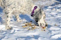 吃在雪的饥饿的狗面条 库存照片