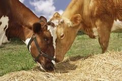 吃在领域的两头布朗母牛干草 免版税库存照片