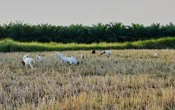 吃在领域的山羊草 免版税库存照片