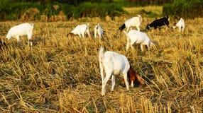 吃在领域的山羊草 库存图片