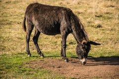 吃在领域的幼小驴草 图库摄影