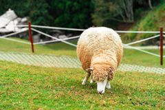 吃在领域的绵羊草 免版税库存图片