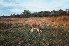 吃在领域的驴草 免版税库存照片