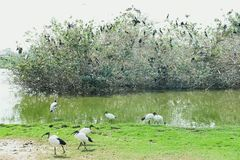 吃在领域的鸟草 库存照片