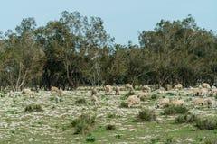 吃在领域的绵羊草,摩洛哥 库存照片