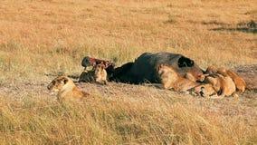 吃在马塞语玛拉的狮子自豪感一祈祷 股票录像