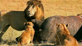 吃在马塞语玛拉的狮子自豪感一祈祷 影视素材