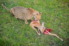吃在马赛马拉国民的小猎豹一只被捉住的飞羚 免版税库存照片