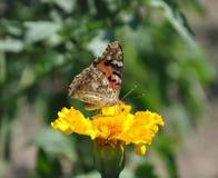 吃在黄色花的蝴蝶花蜜在夏天晴天 免版税库存图片