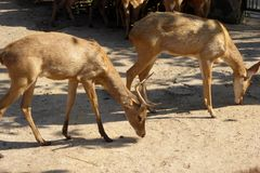 吃在他们的封入物的野生鹿在胡志明市动物园 库存图片