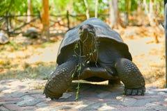 吃在嘴的巨型土地草龟叶子 免版税库存图片