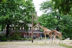 吃在他们的围场的一个对长颈鹿在动物园 库存图片