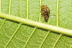 吃在绿色叶子的蜘蛛宏指令一只昆虫 免版税库存照片