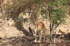 吃在Ein Gedi绿洲的Nubian高地山羊  免版税库存照片