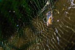 吃在it's网的大蜘蛛臭虫 在W的可怕天敌 库存图片