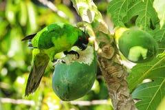 吃在Ouvea海岛,洛亚蒂群岛,新喀里多尼亚上的Ouvea长尾小鹦鹉番木瓜 免版税库存图片