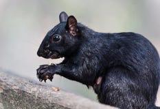吃坚果的一只滑稽的灰鼠的照片 库存照片