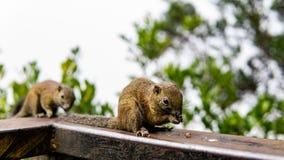 吃坚果的两只灰鼠在森林 免版税库存照片