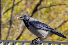 吃坚果的乌鸦一只黑鸟在森林里 库存图片